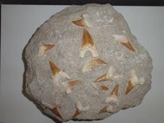 Fossil Shark teeth on matrix - Otodus sp. - 34 x 32 x 13 cm