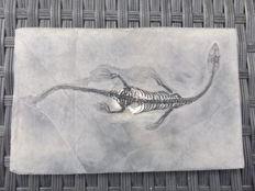 Swimming reptile - Keichousaurus hui - 14.1 cm (16 cm in stretched position)