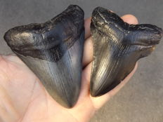 Fossil shark teeth  - Carcharodon Megalodon - 9.9 and 9.2 cm (2 pieces)