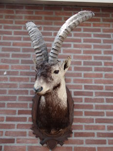 Finest quality taxidermy - Spanish Ibex, shoulder-mount on carved shield - Capra pyrenaica - 50 x 55 x 115cm