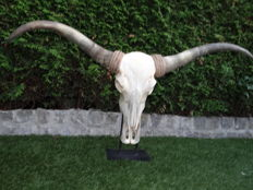 """Longhorn"" - Water Buffalo skull fitted with Watusi horns - 120 x 65 x 20cm"