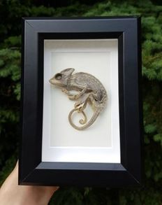 Taxidermy - dry-preserved Veiled/Yemen Chameleon in 3-D case - Chamaeleo calyptratus - 18 x 13cm