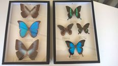 Pair of vintage Butterfly cases, incl. Blue Morpho, Ulysses and assorted Papilio species - 38 x 25cm  (2)