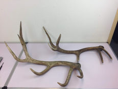 Hunting trophy:  Two deer antlers, Scotland, ca.  1940/1950