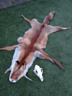 Taxidermy - large Red Fox - skin and skull - Vulpes vulpes - 130 x 80cm