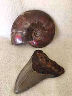 Carcharodon megalodon tooth and beautiful polished pearly ammonite with red shine - 10 and 11 cm