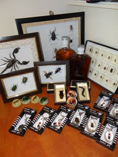 Unusual Entomology collection - specimens in lucite, framed specimens and bottled specimens - 3.5 to 18cm  (42)