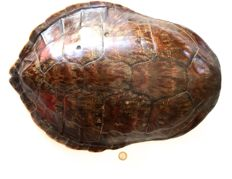 Fine antique Kemp's Ridley Sea Turtle carapace - the world's rarest Turtle - Lepidochelys kempii -  50 x 38cm - 1110gm