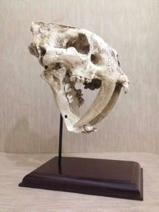Resin replica of Smilodon head - 32 x 18 cm