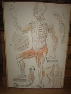 """Beautiful old Anatomical school poster of man """"The Muscles system"""""""