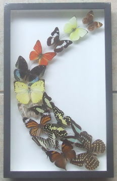 Interesting, framed Exotic Butterfly arrangement - 39.5 x 24.5cm