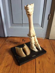 Vintage veterinary display - articulated Cow leg skeleton, with separate hoof - 40cm