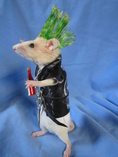Taxidermy - wonderful Punk Rat! - Rattus sp - 16cm