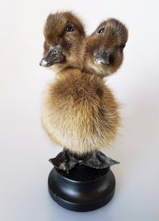 Taxidermy - 2-headed Duckling - Anatidae sp. - 16cm