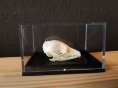 Unusual Rufous Elephant Shrew skull -  Elephantulus rufescens - 6 x 4cm
