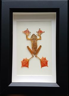 Taxidermy - Harlequin Tree Frog in 3-D case - Rhacophorus pardalis - 18 x 18cm