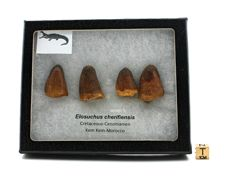 Lot of 4 crocodilian teeth - Elosuchus cherifiensis - 2.2–2.9 x 2 cm