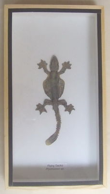 Taxidermy - Flying Gecko in 3-D case - Ptychozoon sp. - 23 x 12.5cm