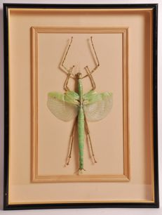 Red-Winged Green Giant Stick Insect in fine display case - Eurysnema versirubra versifasciata - 42 x 32cm