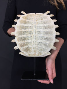 Large Chinese Softshell Turtle carapace skeleton, with stand - Pelodiscus sinensis - 32 x 25cm