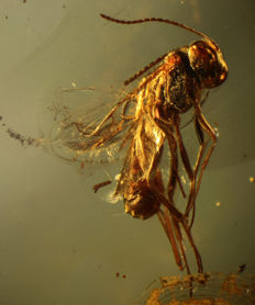 Piece of Baltic Amber, with Wasp inclusion - Hymenoptera sp. - 3.4 x 2 cm - 2.20 g