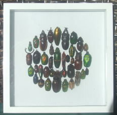 Entomology as an Art form, including Rhinoceros and Jewel Scarab Beetles - 22 x 22cm