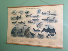 School poster Cane and Water birds