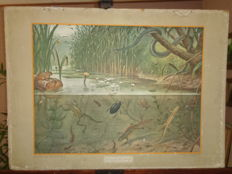 "Old nice nature school poster by Koekoek with a picture of life under and above water ""In Sloot en Plas"" with the Salamander, Green Frog and many others."