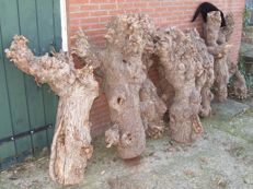 Nine (9 x) dried knot trunks - Netherlands