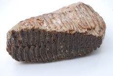 Woolly mammoth molar (Mammuthus primigenius) - length 23 cm