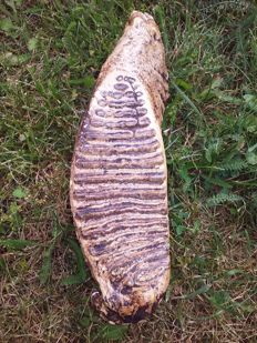 A large fossil Wooly Mammoth tooth - 34 x 12.5 x 8 cm - 3.245 kg