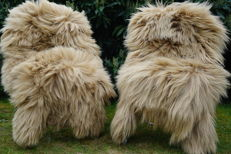 Best quality, pale brown/beige thick pile sheepskins - Ovidae sp. - 130 x 73cm  (2)