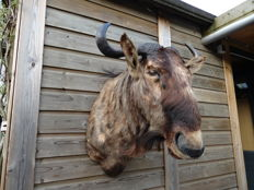 Taxidermy - Blue Wildebeest shoulder-mount - Connochaetes taurinus - 60 x 70 x 70cm