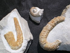 Lot of heteromorphic ammonites of the Barremian - Acrioceras 8 cm - Heteroceras 6.3 cm - Imerites 3 cm