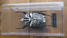 Collection of true-to-life replica Insects, including a Goliath Beetle - with scientific names - 9 to 18cm  (40)