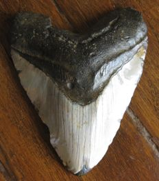 Fossil Shark Tooth - Carcharocles/Carcharodon megalodon - 13.3 cm - 340 g
