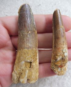Spinosaurus Teeth - 8.1 cm and 6.2 cm