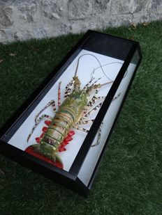 Taxidermy - large exotic Lobster in glass display case- Nephropidae sp - 58 x 28cm