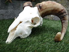 Large and nicely prepared Ram skull with fine, curved horns - Ovis aries - 30 x 25 x 17cm