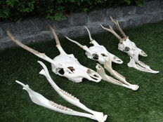 Red Deer, Fallow and Roe Deer skulls, with young antler growth - Cervus elaphus, Dama dama and Capreolus capreolus - 58, 38 and 35cm  (3)