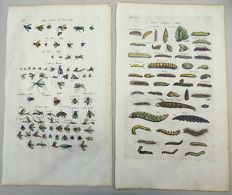 2 engravings - Matthias Merian - Lavae Caterpillars Moths Bugs Insects - 1657