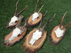 Roedeer - collection of full and part-skulls on natural wood shields - Capreolus capreolus - 22 to 26cm  (5)