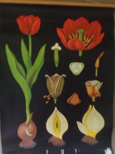 Old school poster of the Tulip