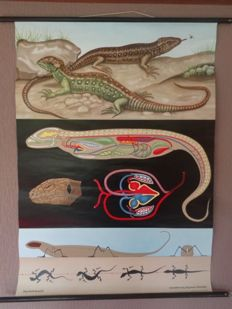 """Anatomical school poster of the """"lizard"""""""