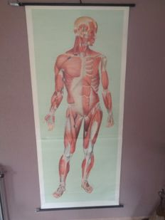 """Beautiful life-size human anatomy school poster """"Muscles"""" front"""