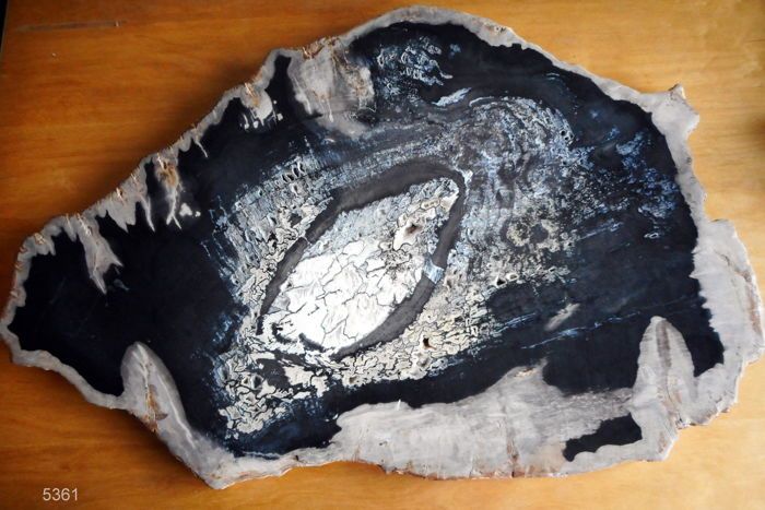 Mineralised hudge Petrified Wood slice / Table Top - 67 x 3.5 cm - 16.2 kg