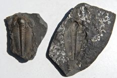 Trilobite - Paradoxides gracilis - 90 mm