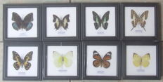 Exotic Butterflies in wooden frames – 12 x 12cm  (8)