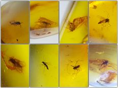 Collection of 8 pieces of amber from the Baltic, with different types of insects - 12-20 mm