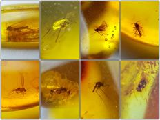 Collection of 8 pieces of amber from the Baltic, with different types of insects - 12-18 mm